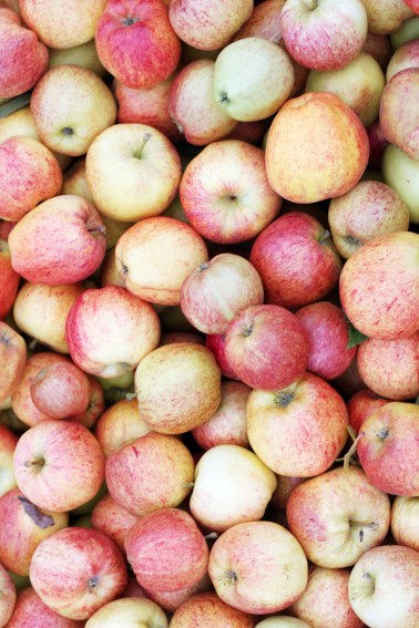 hereford-apple-glean-17